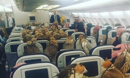 Саудискиот принц ги возел своите птици - соколи во авион