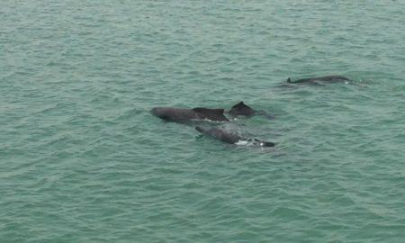 Делфини на туристите им го разубавеа крстарењето на црногорското крајбрежје (ВИДЕО)