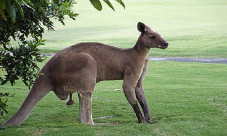Млад австралиски ловџија доби ќотек од кенгур