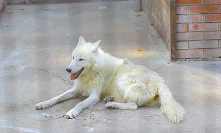 Во белградска населба е пронајдена волчица