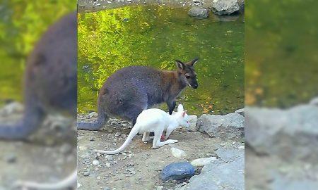 Вистинска реткост во скопската зоолошка - се роди албино кенгурче (ФОТО)